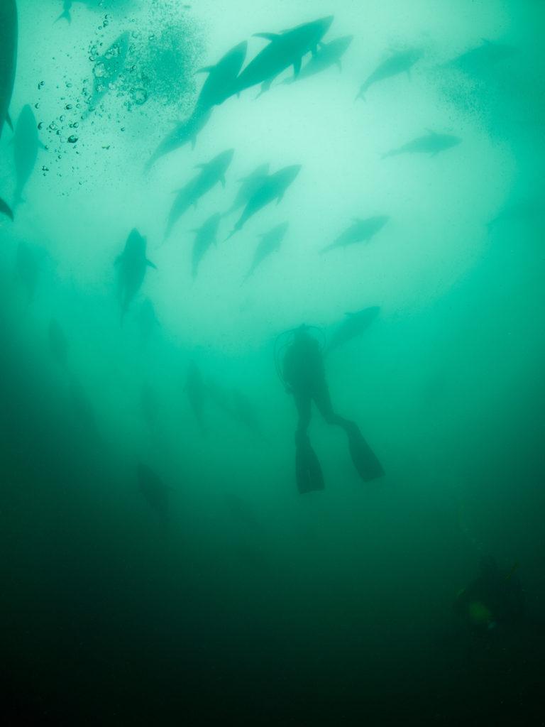 Buceo con atunes